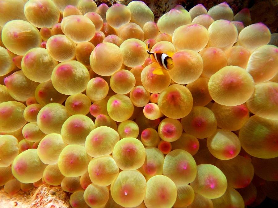 4bac7f4a73d5235c214d2ed81ff16016_mar-rosso-sub-anemone-pesce-pagliaccio